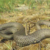 mordeduras de serpientes, viboras y culebras